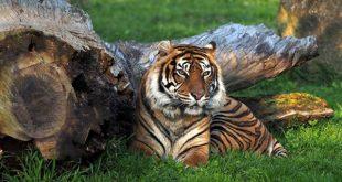 tigre_discovery-wwf