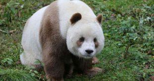 Se tornou único exemplar da sua espécie vive no Foping Panda Valley