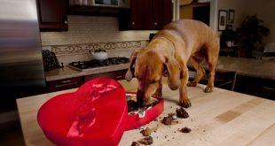 Estrela da comemoração, o chocolate pode trazer sérios riscos para a saúde dos cães.